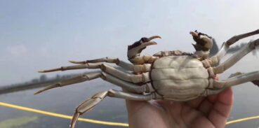 大闸蟹钳子为什么长毛