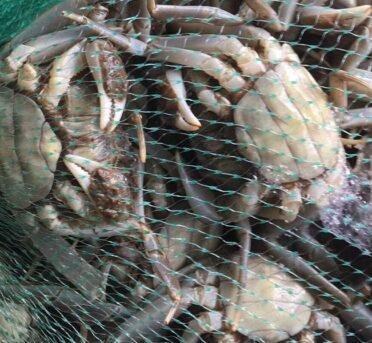 固城湖大闸蟹有多长时间的寿命?