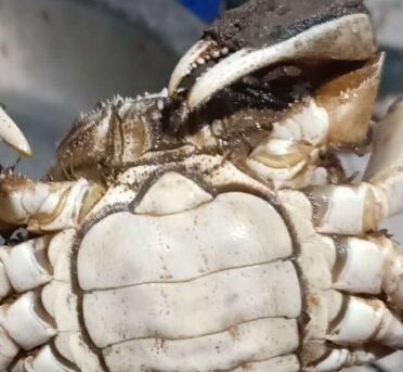 如何分辨固城湖大闸蟹中的毒蟹?