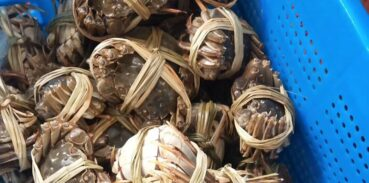 生鲜大闸蟹如何延长寿命?