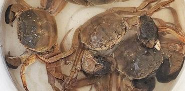 大闸蟹用自来水养可以吗?