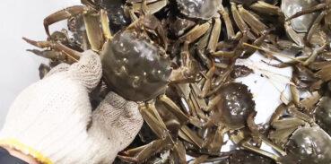 如何判断大闸蟹是假死?