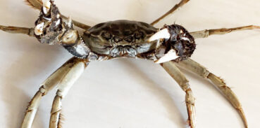 河蟹和海蟹怎么分
