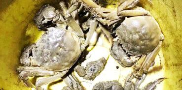 软腿蟹是什么原因