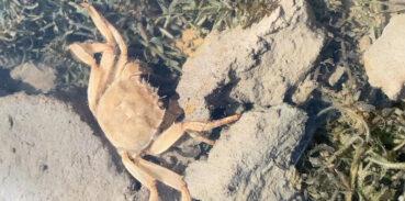 大闸蟹会冬眠吗
