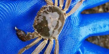 大闸蟹养殖周期多久