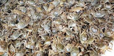 大闸蟹什么时间投苗